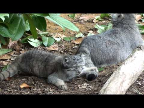 WHF Pallas Cat Kittens 2010 - being playful at 11 weeks old
