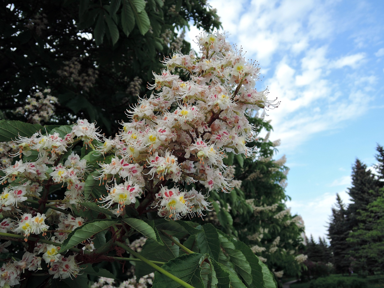 цветущий каштан