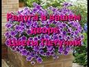 Ваш двор будет выглядеть радугой с цветами петуний Цветы петуний фото петуний