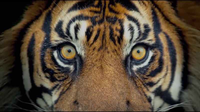 Большие кошки Да Мао (часть 03). Более 40 видов СыШи Чжун БуТун МяньКун тигры, ягуары, леопарды, гепарды, снежные барсы