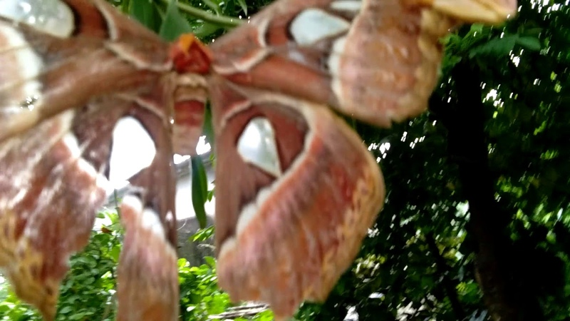 Con bươm bướm ma