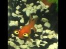 Небесное око — декоративная порода аквариумной «золотой рыбки»