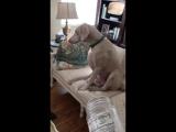 Doberman Feels Guilty After Eating Entire Jar of Peanut Butter - 991078