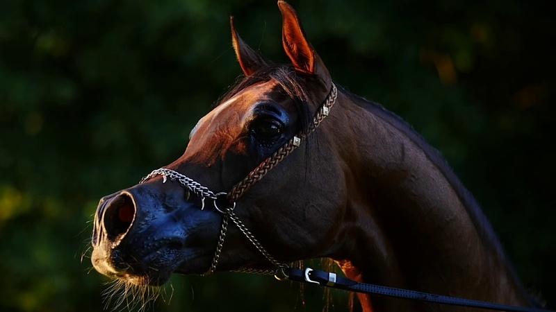 Arabian Times Arabian horses morning