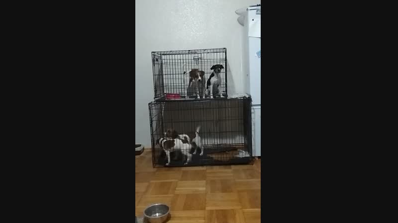 Собачий хор