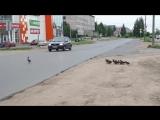 Водитель, будь внимателен, пешеходы бывают разными!!!