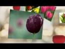 Божественная красота тюльпанов! Тюльпаны фото.mp4