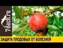 Профилактика заболеваний плодовых деревьев- делаем вакцинацию прививку своими руками - 7 дач