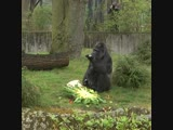 Fatou, the oldest gorilla in the world celebrates its 61st birthday!