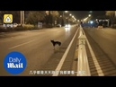 Mourning dog waits in the road for 80 days where its owner died