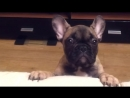 French Bulldog Asks to Go On Couch