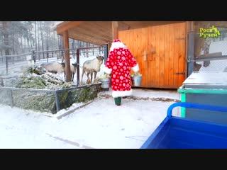 Дед Мороз покормил северных оленей в Роевом ручье