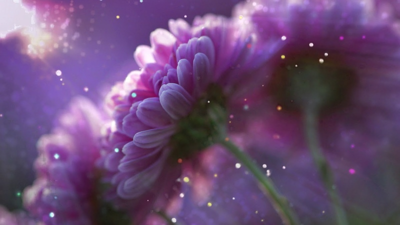 Исцеляющая Омолаживающая Мелодия, Цветовой Настрой Красоты, Хризантемы в цвету...