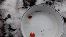 Посев семян шиповника под зиму. Эксперимент.