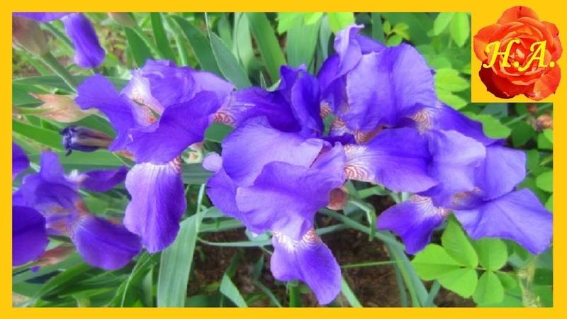 Прекрасные цветы ирисы мои любимые цветы🌺 🌸