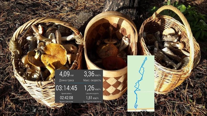 3 корзины грибов за 3 часа в районе между Тосно и Шапками, ЛО