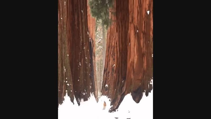Секвойя дерево гигант