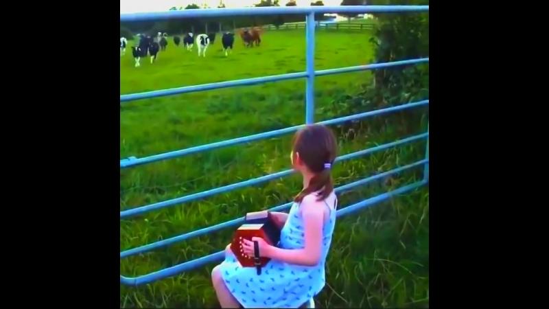 Гармонистка и Коровы ...