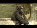 В зоопарке Чикаго дали имя новорождённой горилле