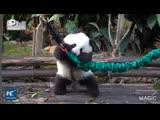 За играми маленьких панд можно наблюдать до бесконечности!