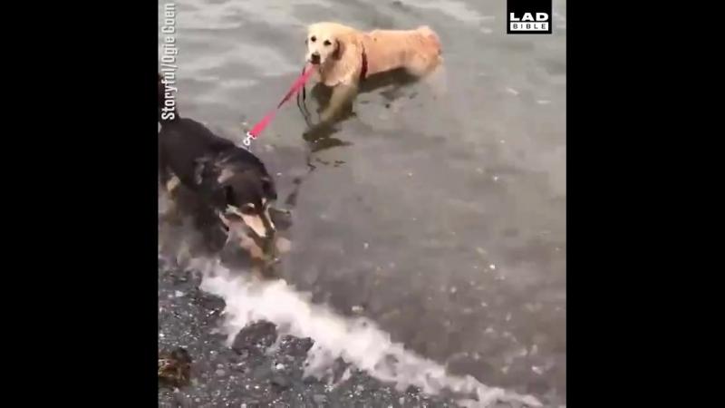 Пес затаскивает в море другую собаку