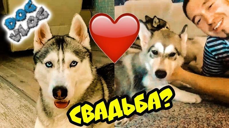 DOGVLOG: ЖЕНЮСЬ НА ЛЕКСИ С КАНАЛА ХАСКИ И МАЛАМУТА РОККИ И МАЙКА! Говорящая собака
