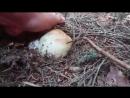Сезон грибів 2017. Білі гриби, Карпати. Збір грибів в Карпатах-se-sezon-gr-grib-ka-karpaty-sport-qq-scscscrp
