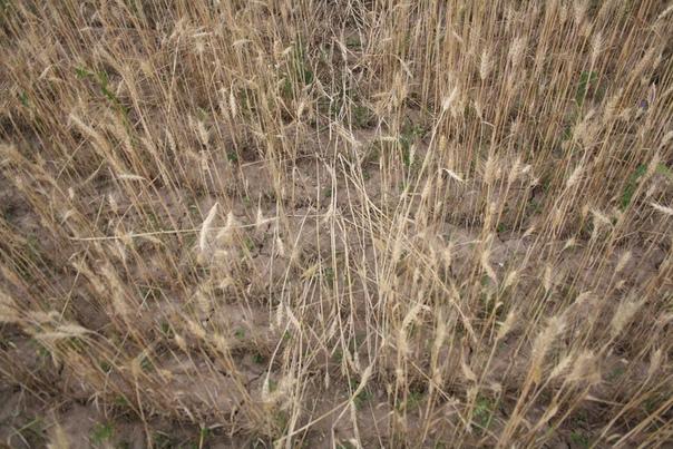 Примерно так выглядит земля под пшеницей. Почему-то тут высажена жиденько