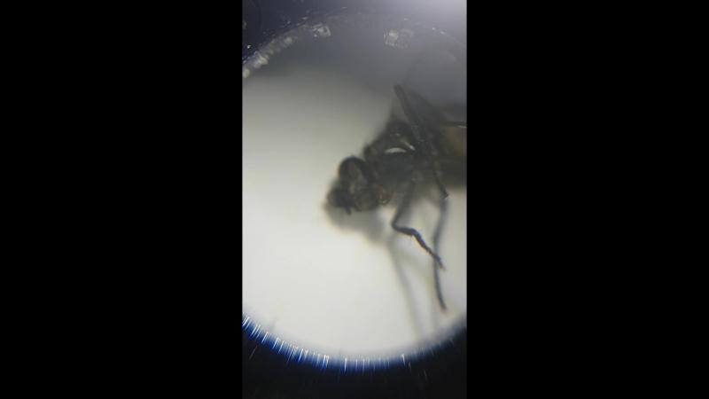 Труп подопытной мухи ожил во время исследования