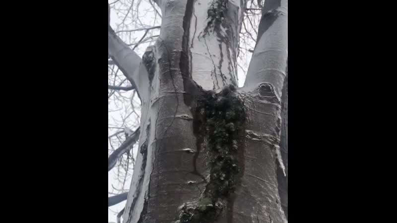 Ice crust on the tree melting from the inside in Evanston, IL. Video by Louis Perlia