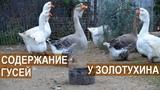 Содержание гусей в хозяйстве Золотухиных