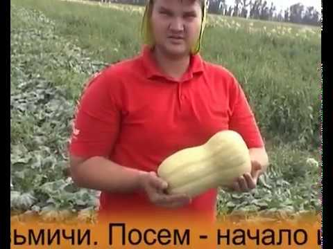 Тыква Матильда F1 Enza Zaden