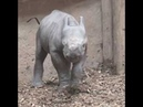Baby black rhino birth catches visitors by surprise at Chester Zoo