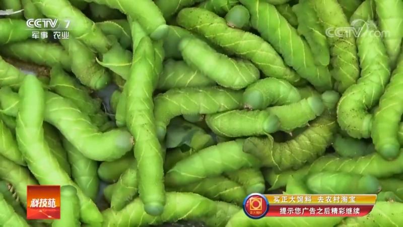 Зеленые бобы, или Парниковые бобы ''ДаПэн Чжун''... Гусеницы бобового Бражника (лат. Sphingidae) как продукт питания ''Доу Цинчу