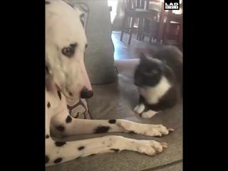 Далматинец дал отпор наглому коту