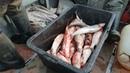 Приготовление малосольного ОМУЛЯ в Якутии! Yakutia Preparation of fresh-salted white fish