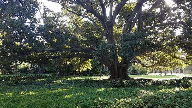 Spectacular Moreton Bay Fig tree collapse UWA November 2018