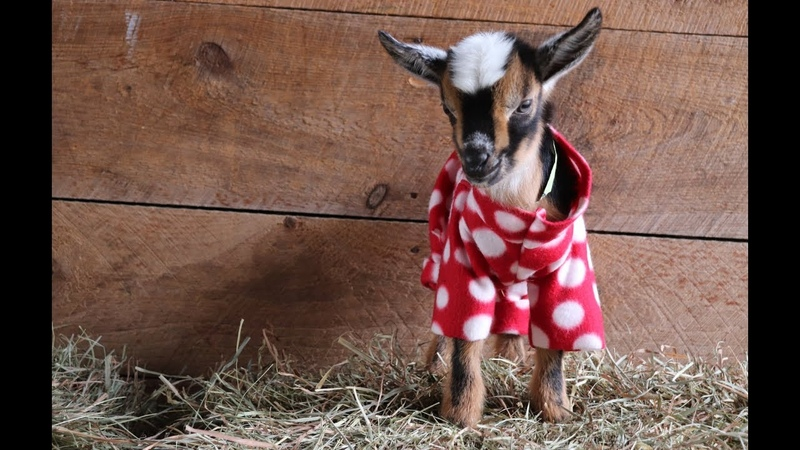 The Greatest Goat Kid PJ Party Ever!