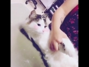 Стрижка спокойной кошки - груминг салон Балути. Москва. Грумер. Купание котов, вычесывание во время линьки