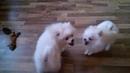 Встреча Шпицев Молли и Микки через неделю / Их энергии можно только позавидовать / Мои ЗооНяшки