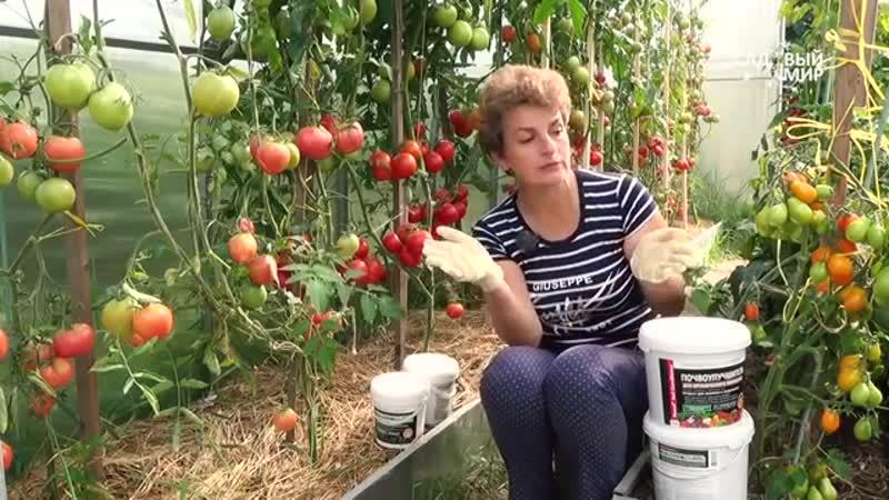 Целая теплица томатов! Как вырастить такой урожай_ Почвоулучшитель - это успех! - YouTube (360p)