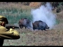Hunting for wild boar. accurate shots. hunt video collection