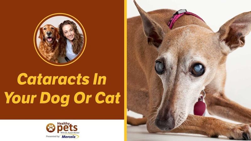 Катаракта у собак и кошек Cataracts In Your Dog Or Cat