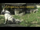 CUTE RARE Baby WHITE TIGER Cubs