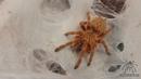 Tarantula Feeding: Pterinochilus murinus (OBT/ Orange Baboon Tarantula): Spiders-N-Inverts 28