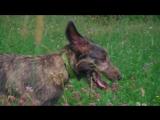 Ирландский волкодав Тесса