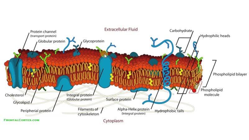 Биология в картинках_ Строение цитоплазматической мембраны (Вып. 60)