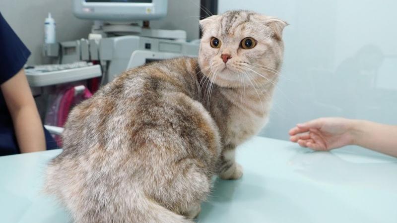 고양이 라온이 건강검진 받다. 그리고 가슴아픈 소식(스코티쉬폴드 유전병)