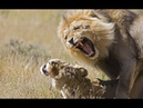 Male Lion Roaring Day and Night, Wild Animals Videos