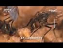 Личинки мух опарыши ИнЦюй дословно летающая личинка как ценный объект для медицины Мушиные пептиды лечат многие забо